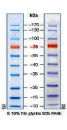 10-170kDa Wide Range Protein Molecular Weight Marker, Prestained